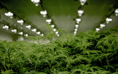 cannabis grow room horticulture lights